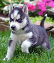 Здоровые и хорошо обученных сибирских хаски щенки